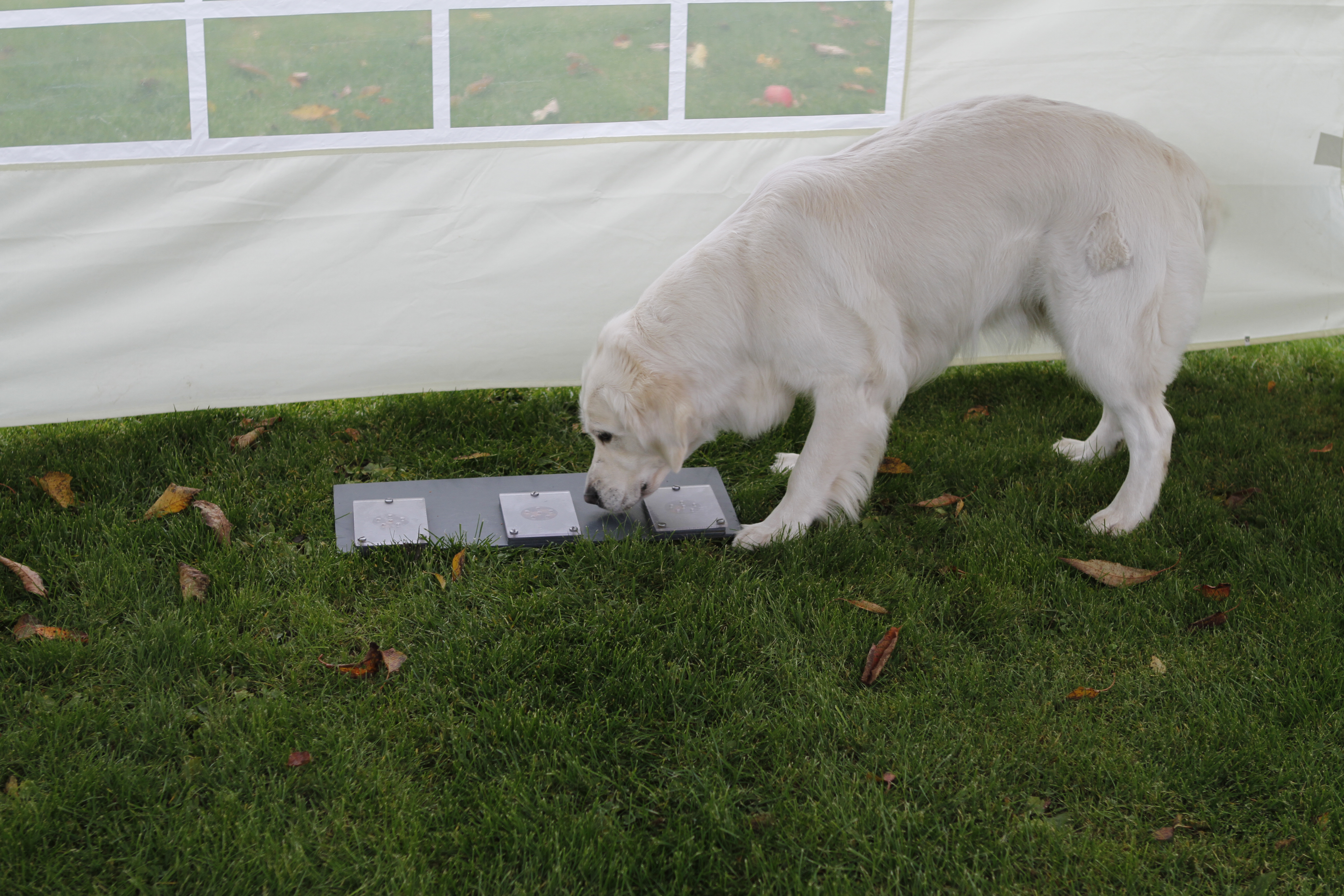 golden retriever sniffs a lid that covers dog candy