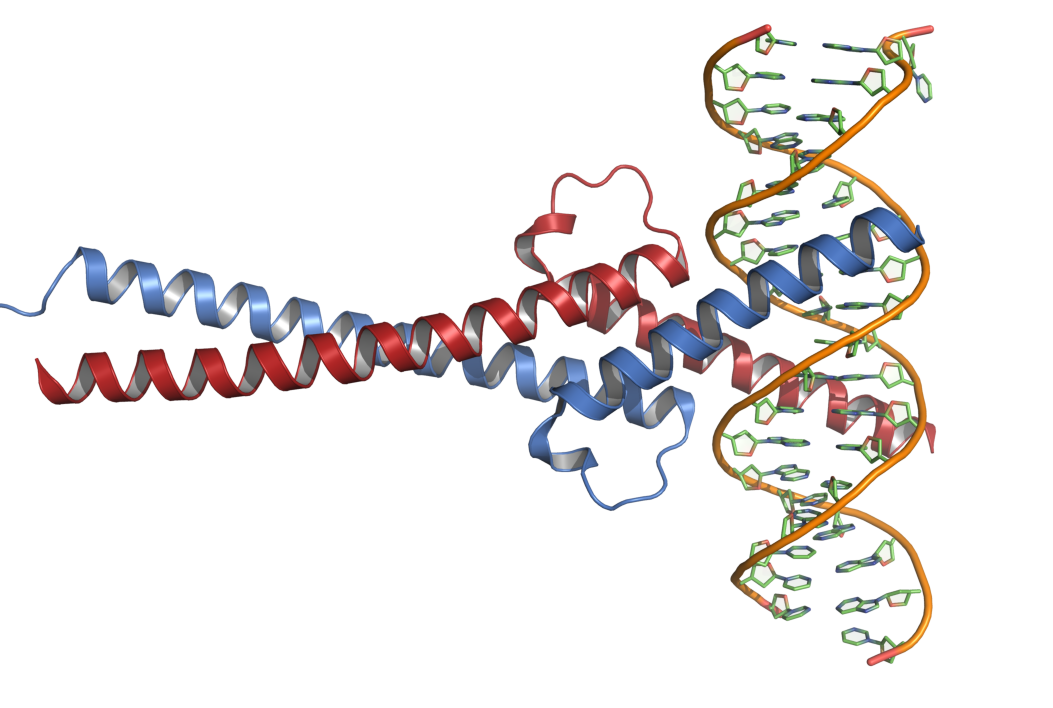 Crystal Structure of Myc and Max in complex with DNA