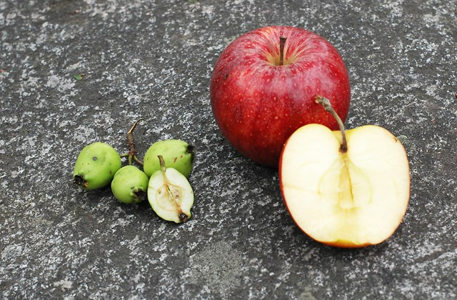 Wild apples and cultured apples.