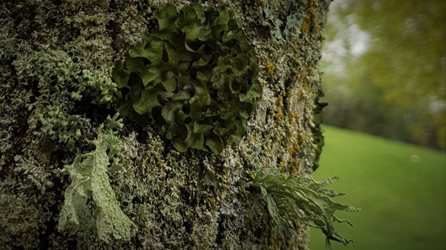 Photo of several species of epiphyte lichens growing on the trunk of a tree.