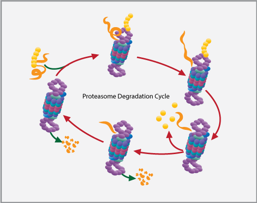 Proteasome Degradation Cycle