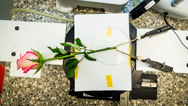 A rose to store energy - Linköping University