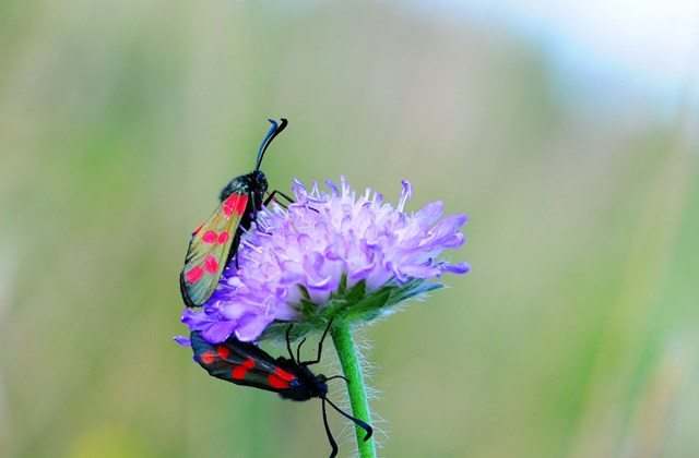 The picture shows two six-spot burnets on a purple flower