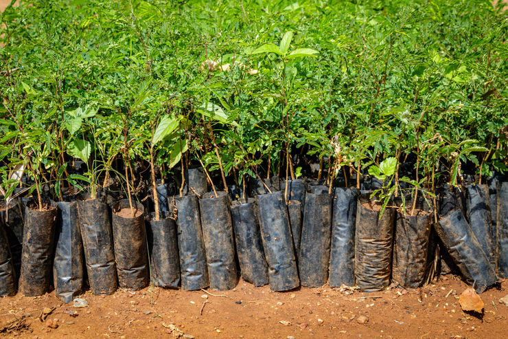 Tree planting Uganda, close up of many small seedlings growing in African soil with plastic protection