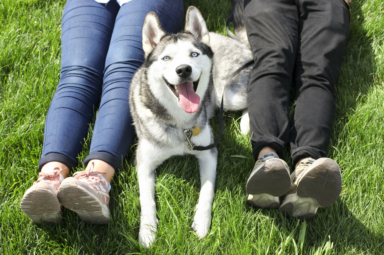Man & woman sitting with siberian husky dog with pointy ears and tongue sticking out. Casual couple resting on mawed grass lawn with their funny pet friend in city park. Background, close up, top view