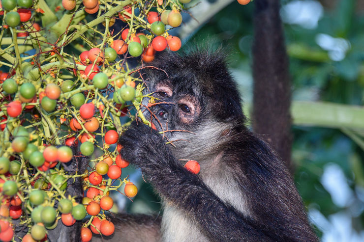 A wild spider monkey male eating betel nuts on a betel palm tree
