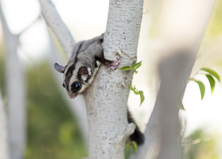 A male sugar glider on a tree outdoors.