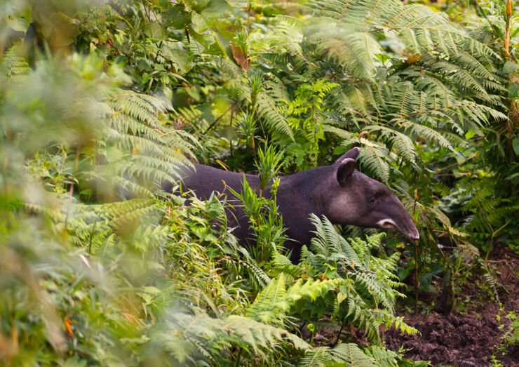 Tapir in the rainforest